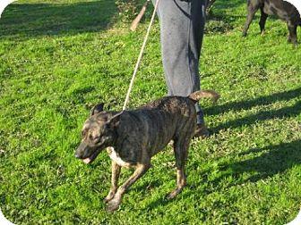 Dutch Shepherd Dog for adoption in Westport, Connecticut - Dana