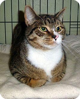 Domestic Shorthair Cat for adoption in Carmel, New York - Bobby