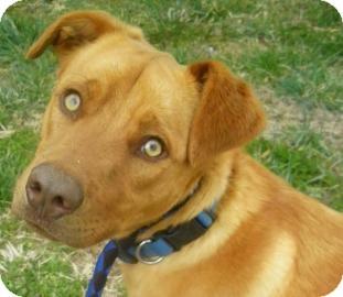 Labrador Retriever/Vizsla Mix Dog for adoption in Lincolnton, North Carolina - Tater