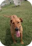Rhodesian Ridgeback Dog for adoption in Patterson, California - Phoebe