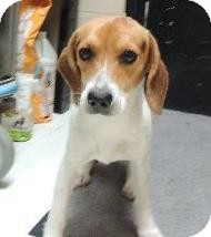 Beagle Dog for adoption in Nanuet, New York - Nike