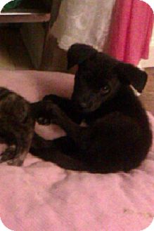 Labrador Retriever/Husky Mix Puppy for adoption in Mohegan Lake, New York - THATCHER