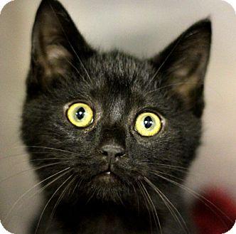 Domestic Shorthair Kitten for adoption in Adrian, Michigan - Jazzy