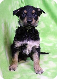 Shepherd (Unknown Type) Mix Puppy for adoption in Westminster, Colorado - Charley