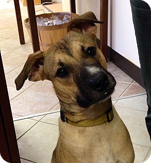 Shepherd (Unknown Type) Mix Dog for adoption in Clarksville, Tennessee - Brooklyn