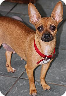 Chihuahua Mix Dog for adoption in San Diego, California - Cookie