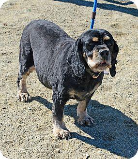 Cocker Spaniel Dog for adoption in Gardnerville, Nevada - Harley