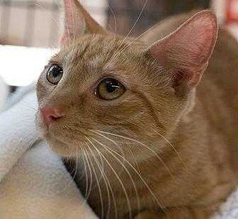 Domestic Shorthair Cat for adoption in New York, New York - Felix