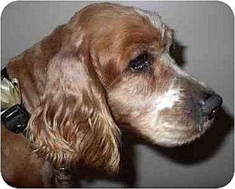 Cocker Spaniel Dog for adoption in Downey, California - Sherman