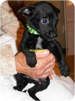 Australian Cattle Dog Mix Puppy for adoption in Sterling Heights, Michigan - PROFESSOR