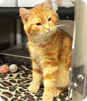Domestic Shorthair Cat for adoption in Marietta, Ohio - Captain