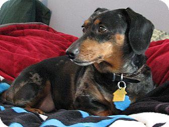Dachshund Dog for adoption in Barium Springs, North Carolina - MADDIE *Adoption Pending*