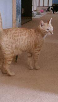 Domestic Shorthair Cat for adoption in Naples, Florida - Spencer