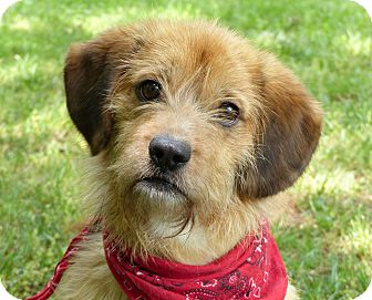 Terrier (Unknown Type, Small)/Dachshund Mix Dog for adoption in Mocksville, North Carolina - Fletcher