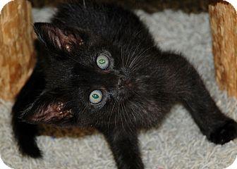 American Shorthair Kitten for adoption in Salem, West Virginia - Timmy