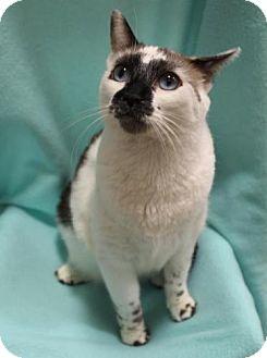 Ragdoll Cat for adoption in Tallahassee, Florida - Paris