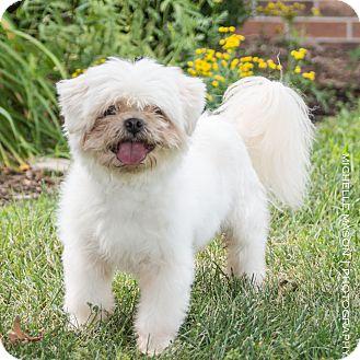 Shih Tzu Dog for adoption in Naperville, Illinois - Casper