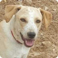Australian Shepherd/Boxer Mix Dog for adoption in Las Cruces, New Mexico - Karl