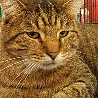 American Shorthair Cat for adoption in Lyons, Illinois - Regis
