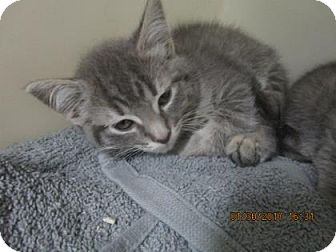 Domestic Shorthair Kitten for adoption in Greenville, North Carolina - Rosie