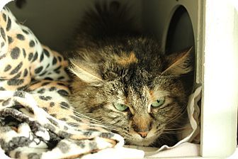 Domestic Mediumhair Cat for adoption in Yucca Valley, California - Lucy Deelia Deetz