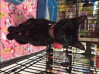 Domestic Shorthair Cat for adoption in McKinney, Texas - Anuket