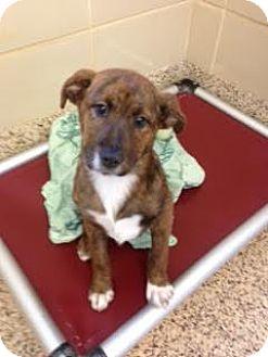Retriever (Unknown Type) Mix Puppy for adoption in Aiken, South Carolina - Darla
