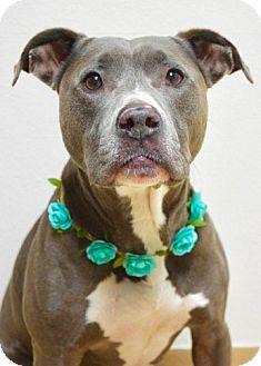 Pit Bull Terrier Mix Dog for adoption in Dublin, California - Emelia