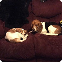 Adopt A Pet :: Benny - Blue Bell, PA