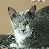 Domestic Shorthair Cat for adoption in Southlake, Texas - Miles
