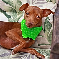 Miniature Pinscher/Chihuahua Mix Dog for adoption in Huntington Beach, California - Holly