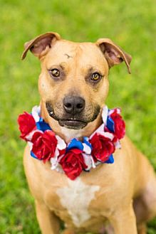 Black Mouth Cur/Hound (Unknown Type) Mix Dog for adoption in Boston, Massachusetts - Ashley