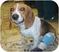 Beagle Dog for adoption in Portland, Ontario - Blitz