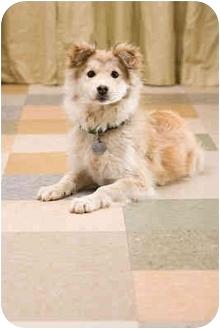 Siberian Husky/Golden Retriever Mix Puppy for adoption in Portland, Oregon - Ridge