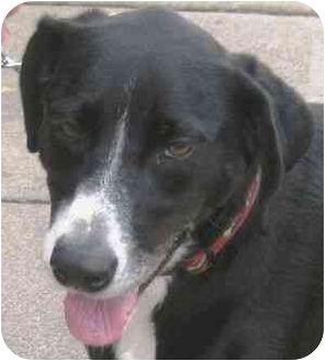 Labrador Retriever Mix Dog for adoption in Berkeley, California - Stella