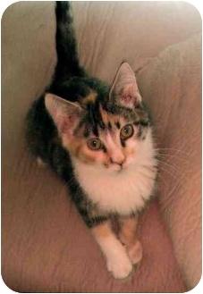 Calico Kitten for adoption in Overland Park, Kansas - Mara
