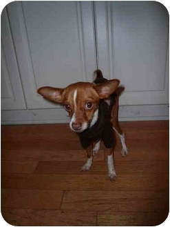 Chihuahua Dog for adoption in Edmonton, Alberta - Dodger
