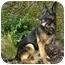 Photo 3 - German Shepherd Dog Dog for adoption in Los Angeles, California - Bonita von Kern