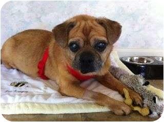 Pug/Beagle Mix Dog for adoption in Marysville, Washington - Cupid
