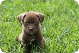 Labrador Retriever/American Pit Bull Terrier Mix Puppy for adoption in West Palm Beach, Florida - AVA