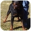 Photo 3 - Rottweiler Dog for adoption in Somerset, Pennsylvania - Chism