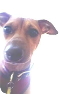 Italian Greyhound/Chihuahua Mix Dog for adoption in Croton, New York - Oliver