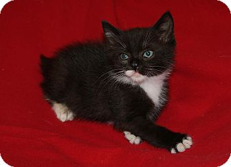 Domestic Shorthair Kitten for adoption in Berlin, Connecticut - Bob