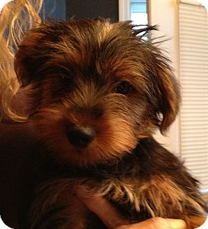 Yorkie, Yorkshire Terrier Puppy for adoption in Fairview Heights, Illinois - Valentino