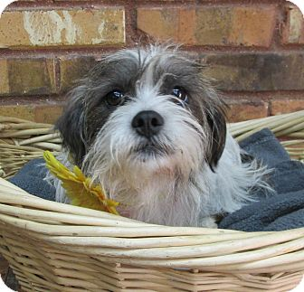 Terrier (Unknown Type, Small) Mix Dog for adoption in Benbrook, Texas - Molly