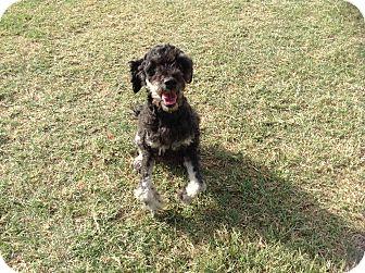 Poodle (Miniature) Mix Dog for adoption in San Antonio, Texas - Alex