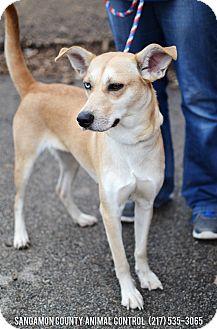 Husky/Labrador Retriever Mix Dog for adoption in Springfield, Illinois - Crystal