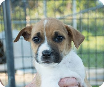 Beagle/Jack Russell Terrier Mix Puppy for adoption in Seneca, South Carolina - Alice $250