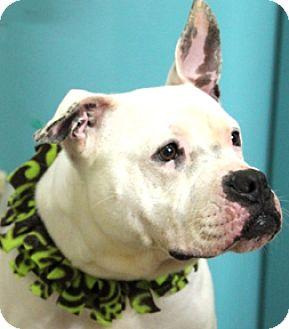 Boxer/American Bulldog Mix Dog for adoption in Hardinsburg, Kentucky - SERENA