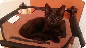 Domestic Shorthair Kitten for adoption in Auburn, Alabama - Stripes